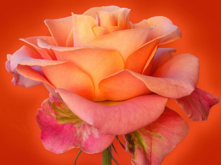 ~♥ Rose ♥~ - flower, flowers, roses, rose