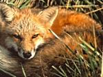 Fox,resting