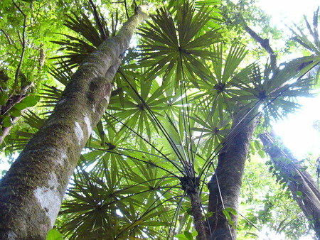 The Rain Forest - palms, rainforest, tropical, trees, looking up
