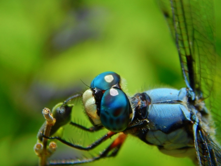 Blue Eyes Dragonfly - blue, insect, eyes, nature, dragonfly