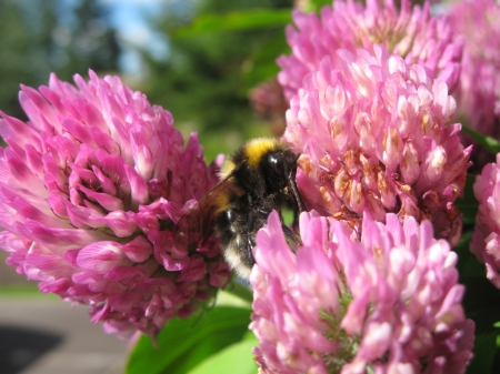 Busy Bee - bee, flowers, creatures, pink, insects, busy