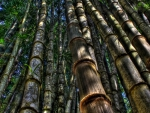 bamboo forest hdr