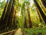 path through a forest of tall redwoods