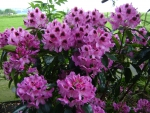 Beautiful Rhododendron