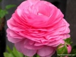 Persian Buttercup Pink Rose