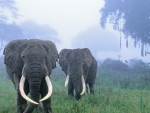 Two Elephants in the mist