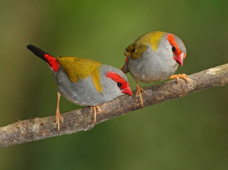 Red Browed Finch - red, limb, beek, gray, browed, birds, yellow, finch, bird, nature, feathers, animals
