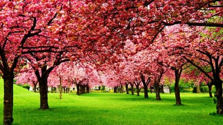 Blossoming Trees - grass, trinks, shadow, trees, blossom, limbs, green, blossoming, nature, pink, field