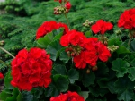Rosy Red Geraniums