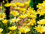 Cheerful Spring Daisies