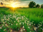 Daisies field at sunrise
