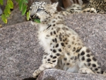 A young snow leopard