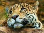 Moody Leopard