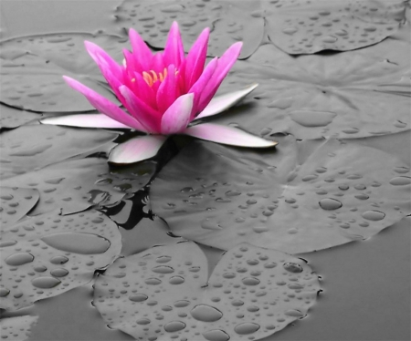 Lily Bright - floating, water, bright, contrast, flower, lily, nature, waterdrops, pink