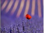 poppy in lavender field