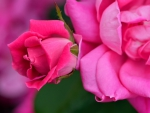 Pink and Red Rose Blossom