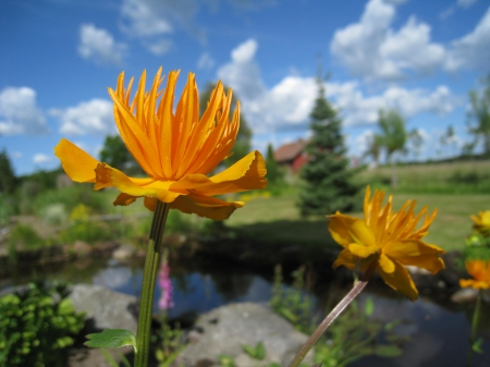 Orange flowers - house, water, orange, flowers, garden, trees, clouds, sky
