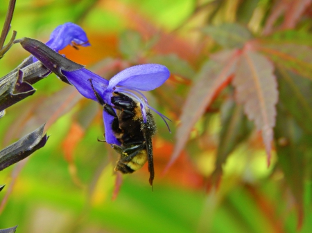 Bumble Bee and Flower - pretty, bee, insect, maple leaf, beautiful, nature, flower