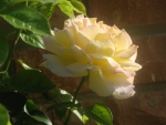 Splendid yellow rose