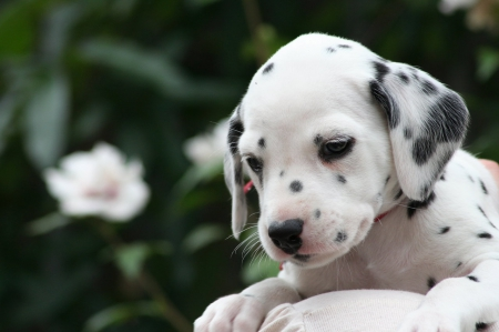 cute pup - dalmation, cute, adorable, pup