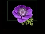 French anemone
