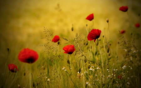 Poppies Field - poppy, splendor, flowers field, poppies field, poppies, flowers, nature, field