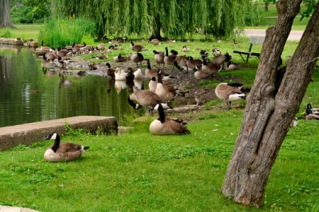 Ducks In A Row - ducks, Ducks In A Row, geese, canadian geese