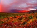 red rainbow over flowering desert