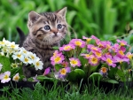 Cat and primrose flowers