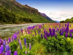Lupine river