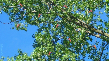 Many Flying Cardinals - red, cie1, birds, sky, red cardinals, cardinals, fow1, tree, leaves, bird, red cardinal, blue sky, branches, cardinal