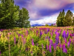 Lupin field