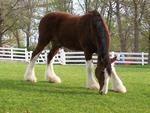 Clydesdale Stallion