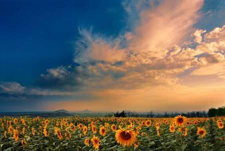 Sunflower Field - sun streaked couds, sunflowers, sunflower, field