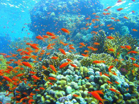 Coral Reef - reef fish, ocean, coral reef