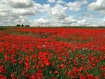 * Poppy field *