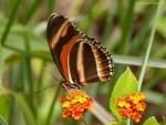 Orange brown butterfly