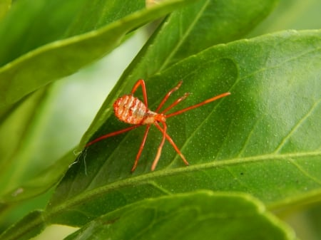 Baby Assassin Bug - baby, leaf, bugs, insect, assassin, nature
