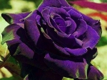 **Beautiful Violet Rose**