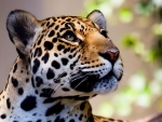 The magnificant leopard