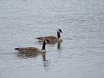 Twin Ducks on Lake