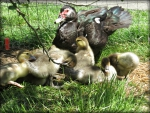 Little mommy muscovy  and her Ducklings