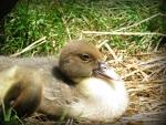 little three week old muscoy duckling