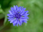 Wild Blue Macro