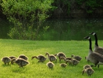 a family of canadian geese