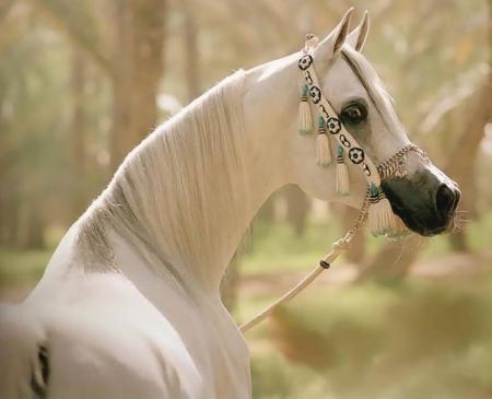 Beautiful Arabian Horse Horses Animals Background Wallpapers