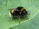 Bumblebee on a leaf