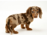 Cute puppy dachshund
