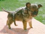 Marmoset on a dog