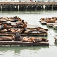 Sea Lions at Pier 39 1